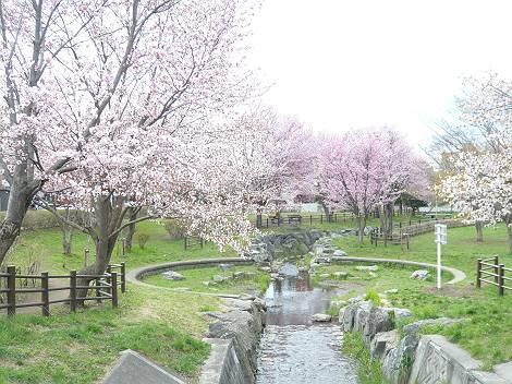 桜1-s.jpg