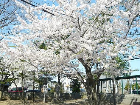 桜2-1-s.jpg