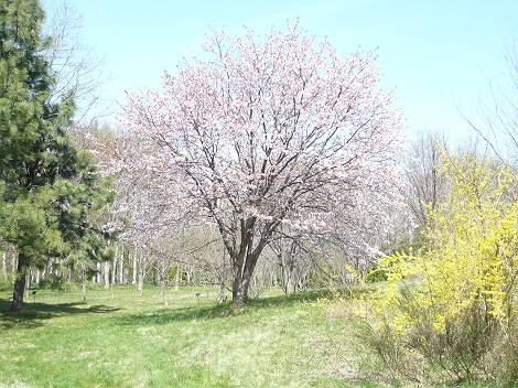 桜6-s.jpg